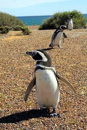 Emsige Frackträger: Eine halbe Million Magellan-Pinguine bilden auf der geschützten Halbinsel eine starke Gemeinschaft und beißen Touristen auch schon mal ins Bein, wenn sie im Weg stehen