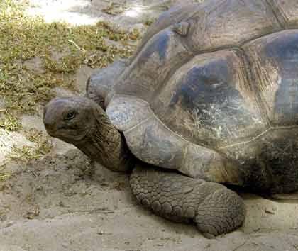 """Die Riesenschildkröte kehrt zurück: Dank der Initiative """"Back to Paradise"""" verwandeln sich Fauna und Flora wieder in ihren Urzustand"""