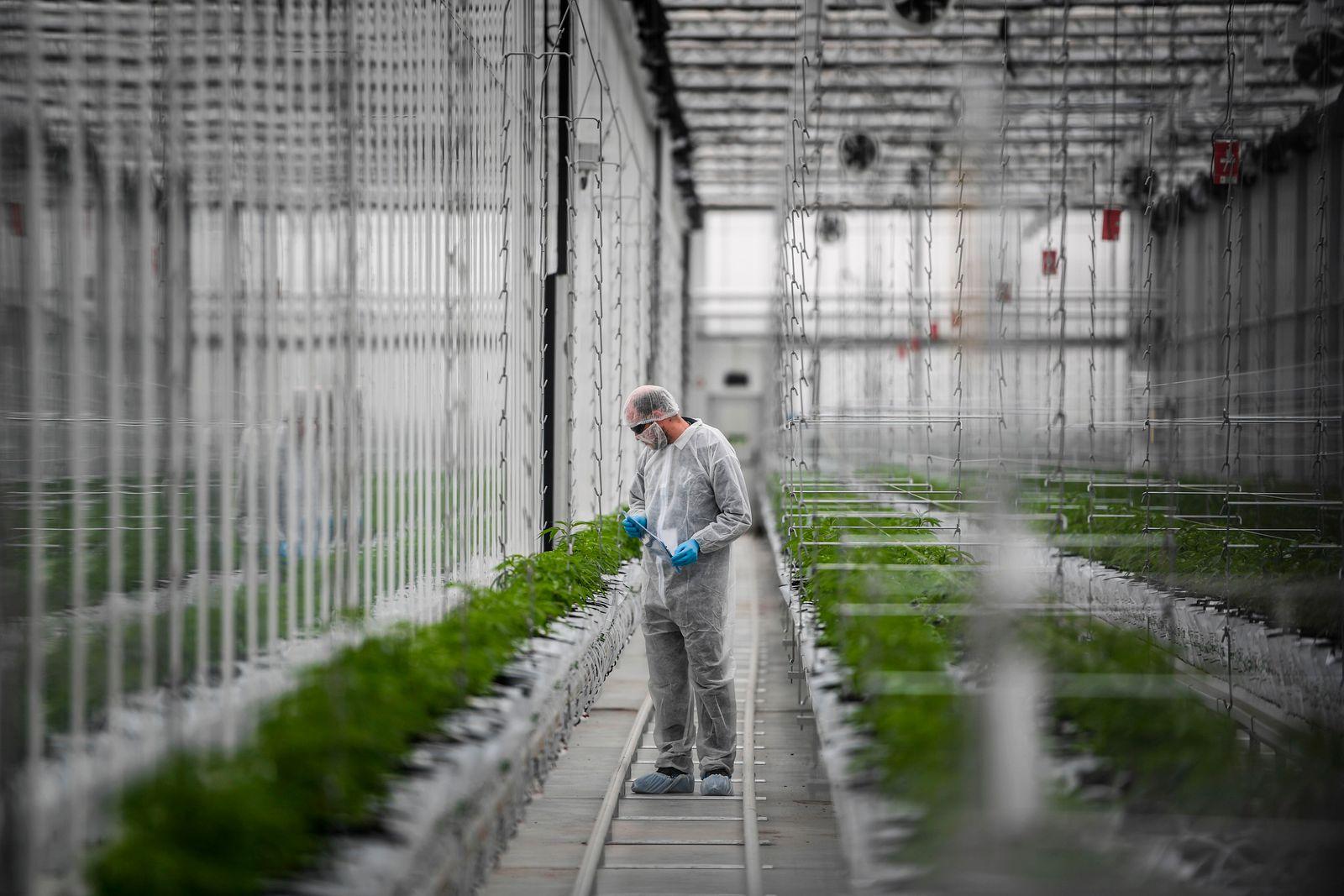 worker cannabis Tilray