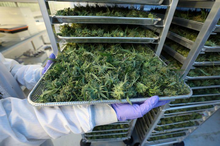 Cannabis Knospen auf einem Tablett