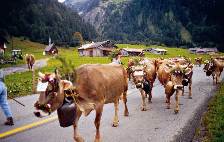 Im Herbst werden die Kühe schick gemacht und von den Alpweiden ins Tal geführt.