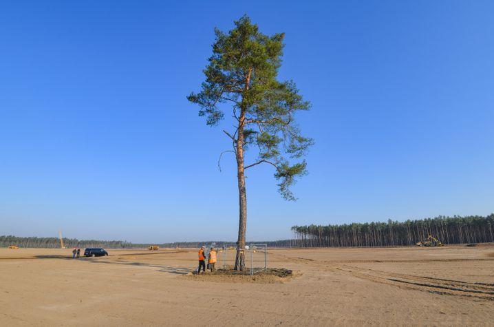 Diese Kiefer ist der letzte Baum auf dem Baugelände der künftigen Tesla Giga Factory. In der Baumhöhle wohnten Fledermäuse der Art Abendsegler. Die Tiere sind ausgeflogen und somit kann der Baum gefällt werden.