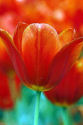 Holland-Klischee: Tulpen aus Amsterdam. Bei der Übernahme von Interhyp geht es weitaus handfester zu.