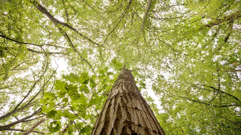 Wald bremst Klimawandel: Bäume binden CO2