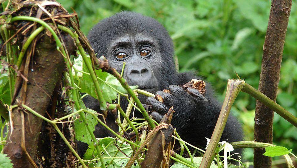 Gorillas: Aug in Auge mit den Riesen des Dschungels