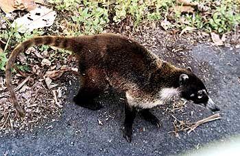 Anpassungsfähige Exoten: Nasenbären (Nasua narica) sind in Gruppen von bis zu 25 Tieren auch jenseits der Wälder unterwegs und gehen Autofahrer um Leckerbissen an