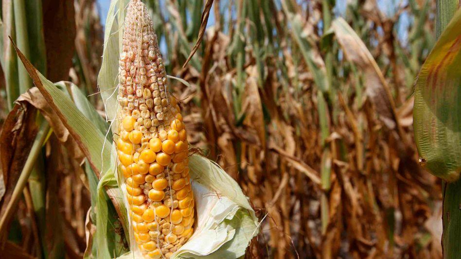 Maisfeld in Indiana: Für die Dürreschäden in den USA hat die Munich Re 160 Millionen Euro reserviert