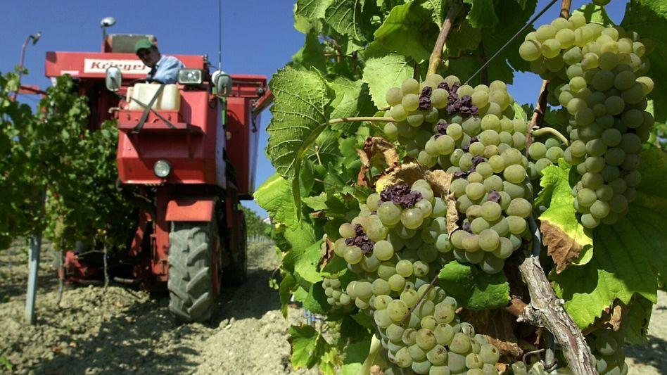 Weinanbau in Gau-Bickelheim (Kreis Alzey-Worms): China droht mit Strafzöllen auf EU-Wein