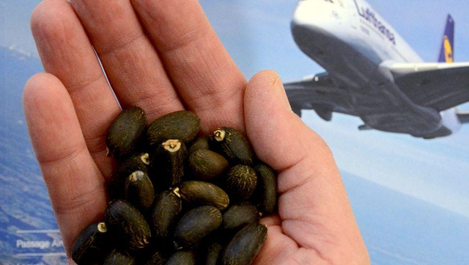 Jatropha-Bohnen: Die stark ölhaltigen, giftigen Früchte werden für einen Versuch der Lufthansa zu Biotreibstoff für Flugzeuge verarbeitet