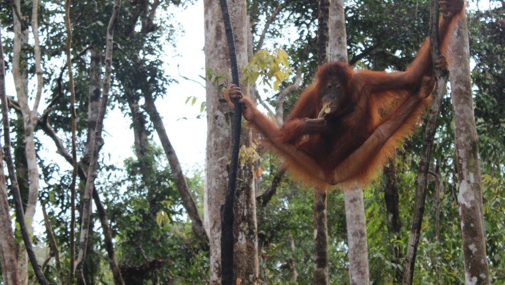 Borneo: Zu Gast bei den Orang-Utans