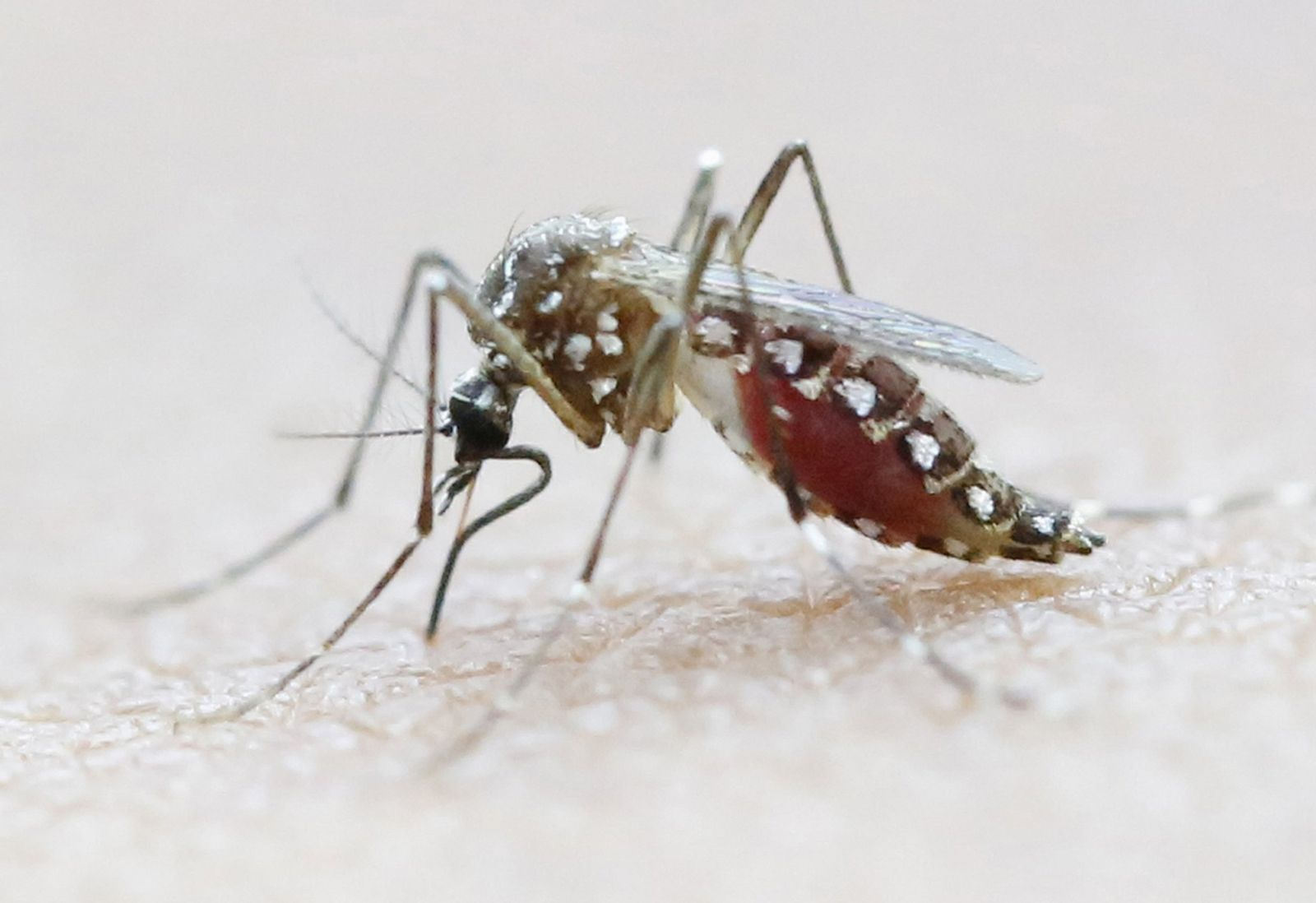Zika Aedes aegypti mosquito