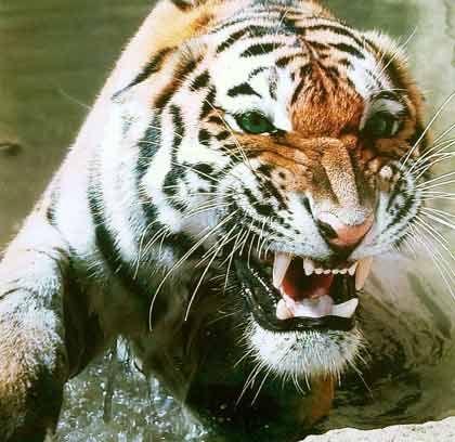 Tiger in Bedrängnis: Lässt die Nachfrage in China nach, bekommen die aufstrebenden asiatischen Schwellenländer Probleme