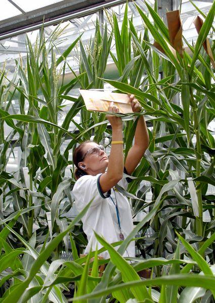 Biotech in grün: Monsanto verdient Milliarden mit veränderten Agrarprodukten