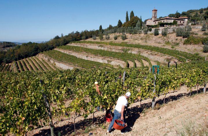 Toskana: Weinernte südlich von Florenz