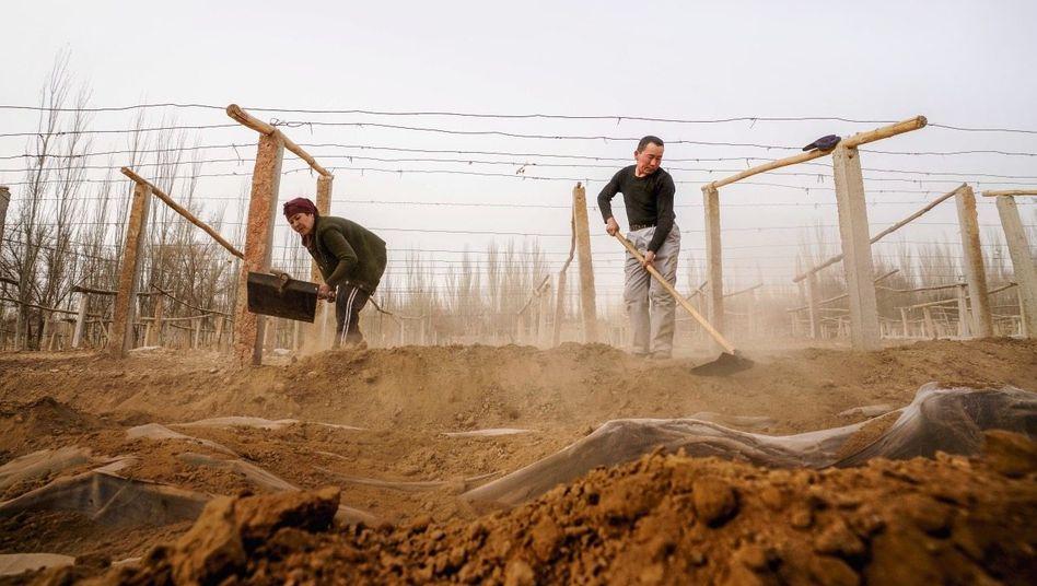 Neuland: Rund um die Oase Turfan, schon vor Urzeiten Weinland, dann in Vergessenheit geraten, werden wieder Reben gepflanzt