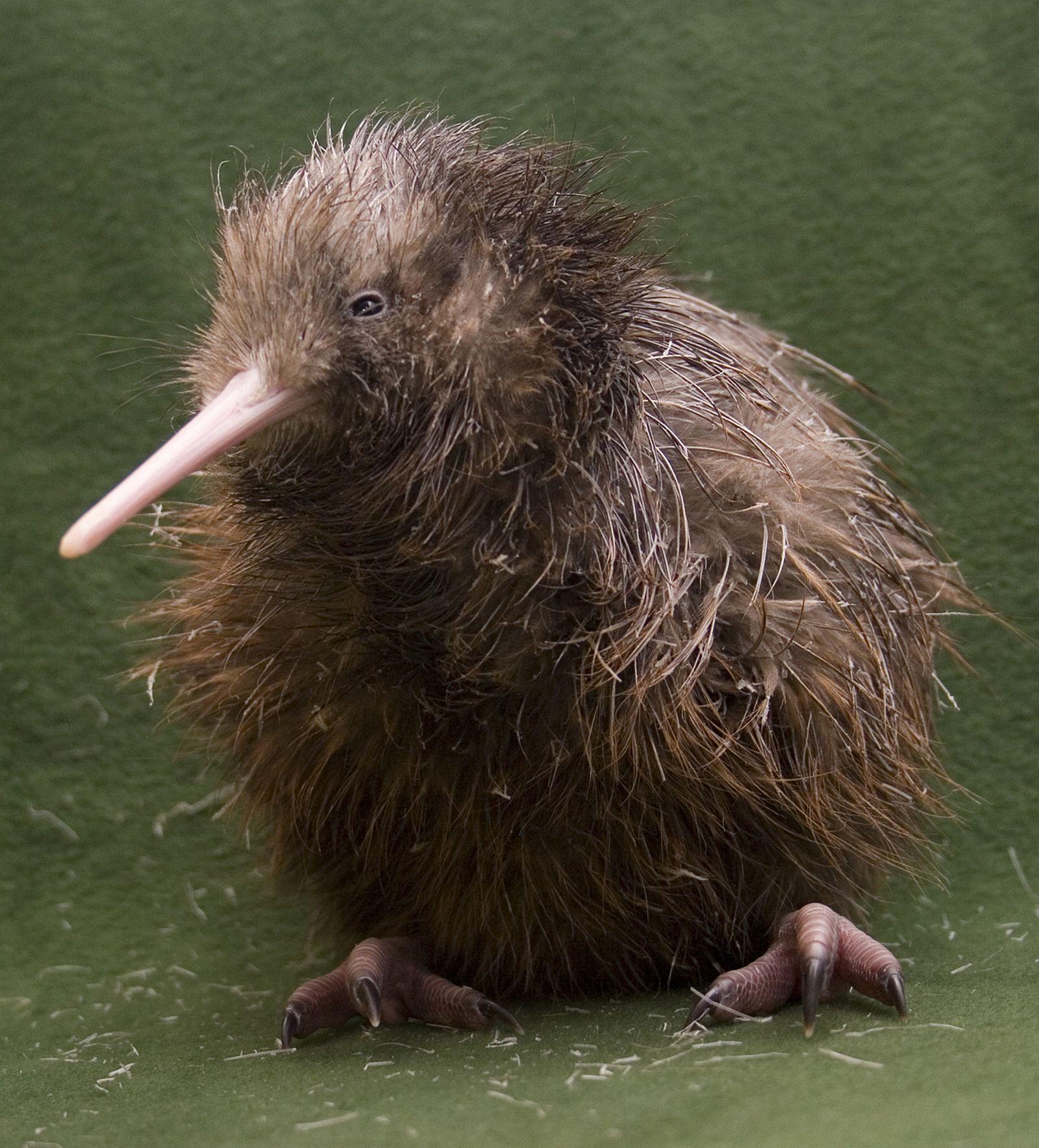 Neuseeland Kiwi Chick