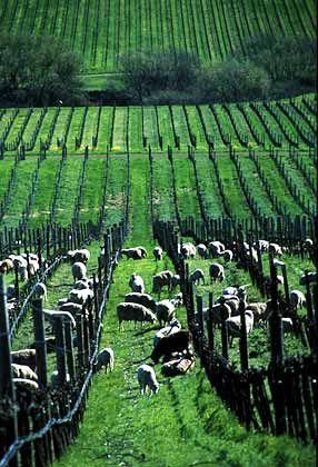 Als eines der ersten Weingüter in eine Aktiengesellschaft umgewandelt: Mondavis Weinberge