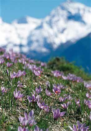 Schweizer Kostbarkeit: Arme Bergbauern sollen den Sfran in die Schweiz geschmuggelt haben
