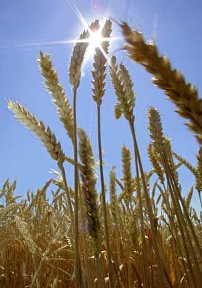 Vor der Ernte: In der Sonne wächst alles gut, aber was bleibt nach dem Unwetter?