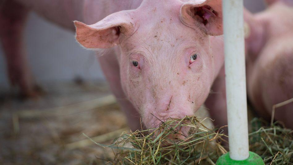 Ein Schwein besucht eine Demonstration gegen Arbeitsbedingungen im Fleischbetrieb Tönnies in Rheda-Wiedenbrück.