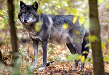 Einsame Jäger: Viele Headhunter streichen unberechenbar wie versprengte Wölfe durch die Reviere von Vorständen und Aufsichtsräten