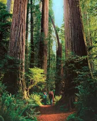 """Ehrfurchtsvolles Laufen zwischen Giganten: In den Wäldern an der """"Redwood Coast"""" kommen die Wanderer aus dem Staunen kaum heraus"""
