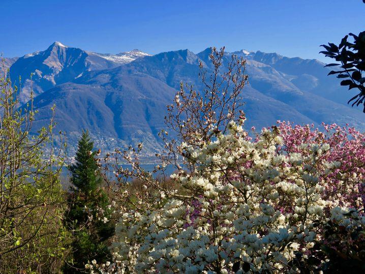 Die Pflanzen, die Alpen, der Lago Maggiore. Diesen Ausblick haben Besucher im Botanischen Garten Eisenhut im Tessin.