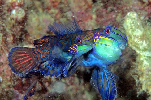 Picasso im Farbenrausch hätte es nicht bunter hinbekommen: Die nur wenige Zentimeter großen Mandarinfische sind wegen ihres hektischen Schwimmverhaltens äußerst schwierig zu fotografieren.
