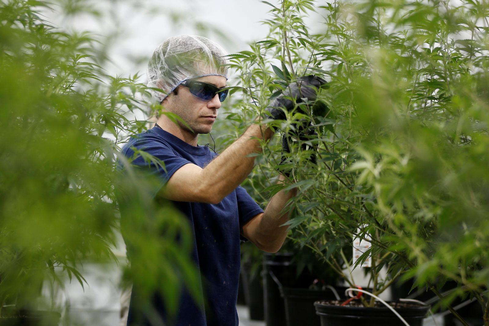 worker marijuana plant Canopy Growth Corporation