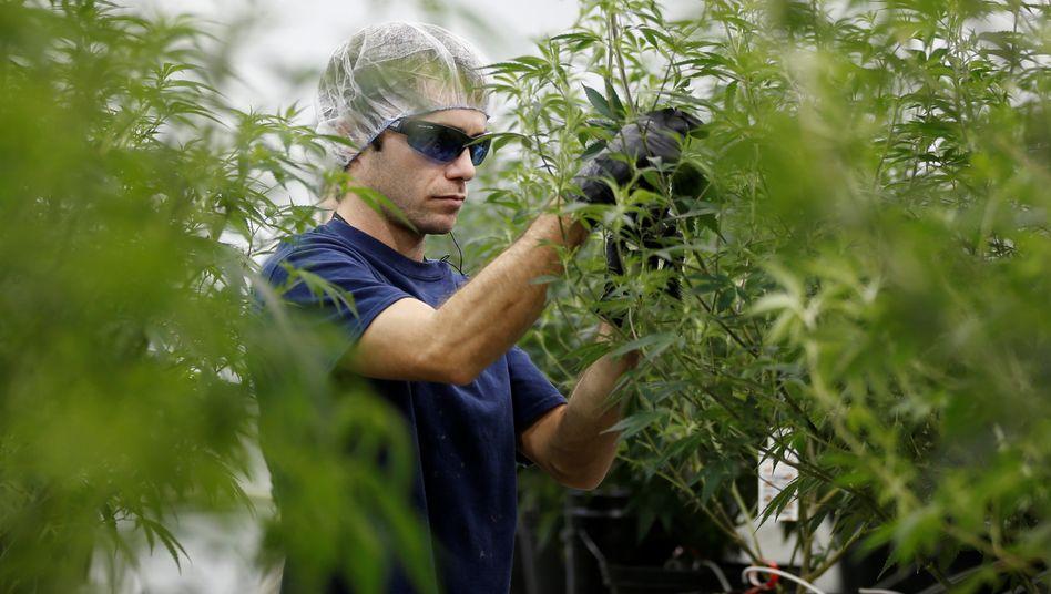 Arbeiten in einer Plantage von Canopy Growth im kanadischen Smiths Falls