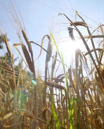 Weizenfeld: Wenn in Kasachstan die Ernte mal nicht so gut ausfällt, bestimmt das letztlich auch unseren Brotpreis