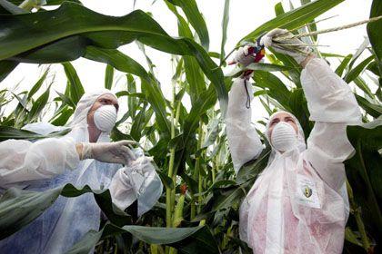 Angst und Schrecken: Monsanto stößt nicht nur in Europa auf Widerstände