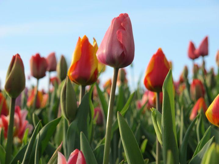 Tulpenpracht: Jedes Jahr für sieben Frühlingswochen hat der Keukenhof geöffnet