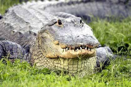 Alligatoren: Vorsicht vor der großen Klappe