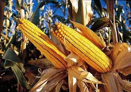 """Quasi-Monopolist: Rund 90 Prozent aller auf der Welt angebauten gentechnisch veränderten Pflanzen tragen das Label """"Monsanto inside"""""""