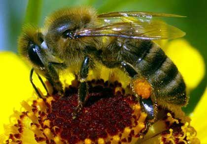 Sammelleidenschaft: Der Flugradius einer Biene kann bis zu acht Kilometer betragen