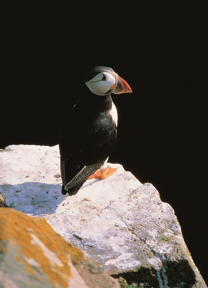 Auf Rathlin können Besucher nicht nur Möwen, sondern auch Papageientaucher beobachten.