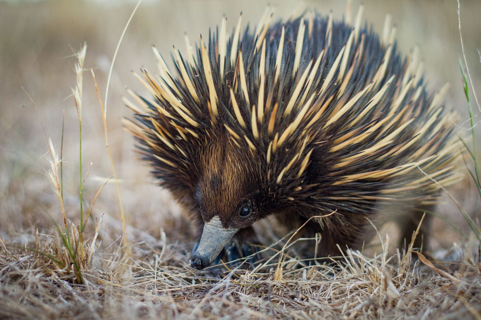 Australian native spiny ant eater echidna close up on face