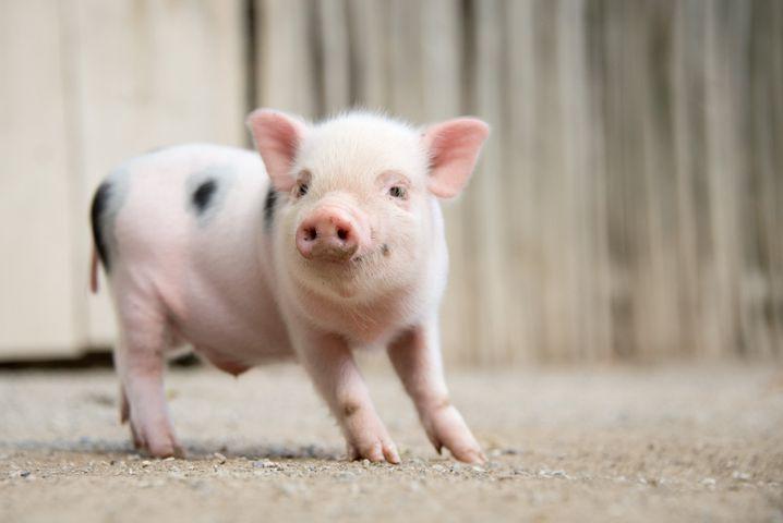Schlankes Schweinchen: Die Kryolipolyse wurde zuerst an Minischweinen erprobt