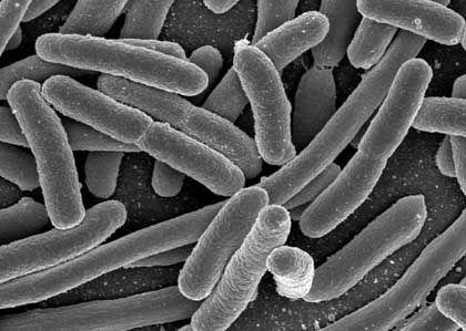 Koli-Bakterien: Mit Silber gegen Infektionen