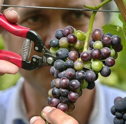 Komplex: Neben der Rebsorte gibt es eine ganze Vielzahl von Faktoren, die sich auf den Geschmack des Weins auswirken