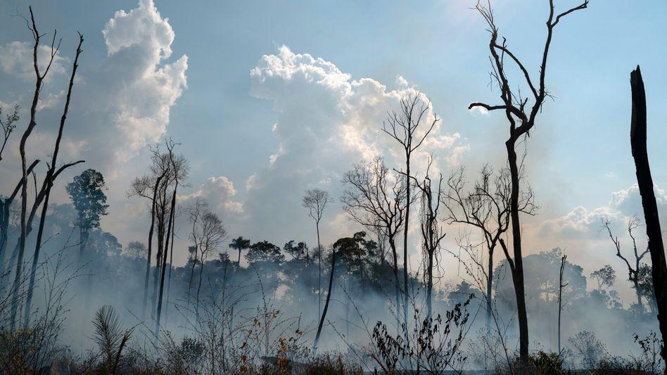 Verkohlte Bäume im Amazonas Gebiet