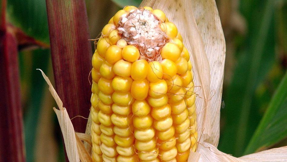 Sorgt für eine neue Gentechnikdebatte: Mais von Monsanto