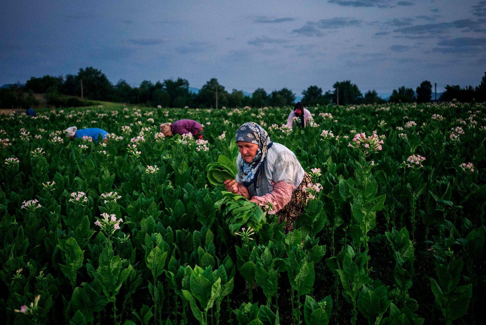Bulgarien / Landwirtschaft / Tabak