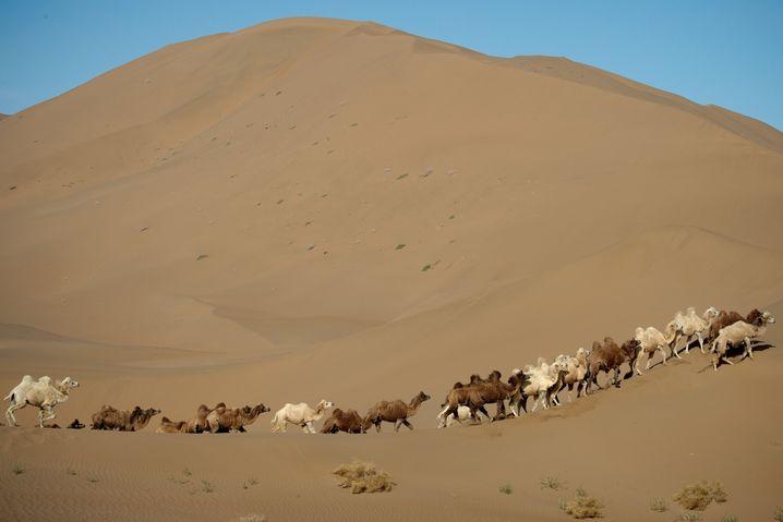 Kamele in der Wüste Gobi: Auch als Extremläufer geht man in diesem Gelände an seine Grenzen