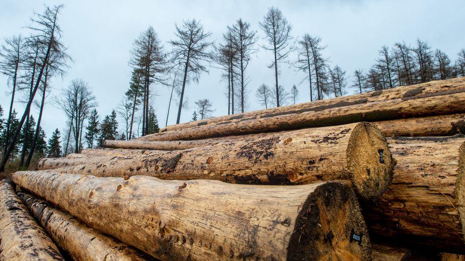 Fichten-Langholz in Sachsen: Nach dem jüngsten Preissturz wird kein Holz mehr in die USA verschifft