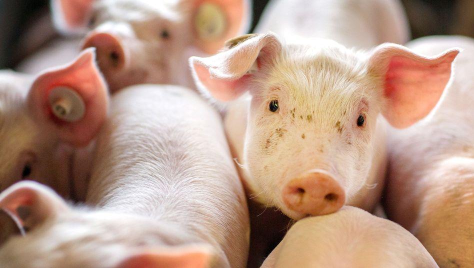 Massentierhaltung in Deutschland: Schweinezuchtanlage in Mecklenburg-Vorpommern:. Die Zahl der Schweinehalter ist binnen eines halben Jahres um 4,4 Prozent auf nur noch 7458 Betri