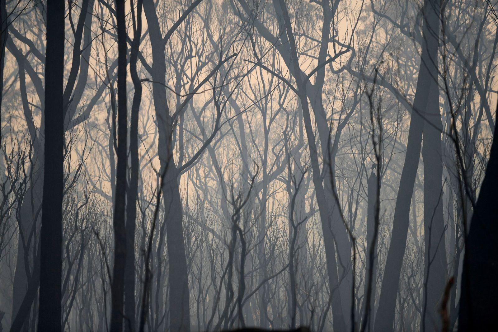 Verbrannte Bäume / Australien / Klimawandel