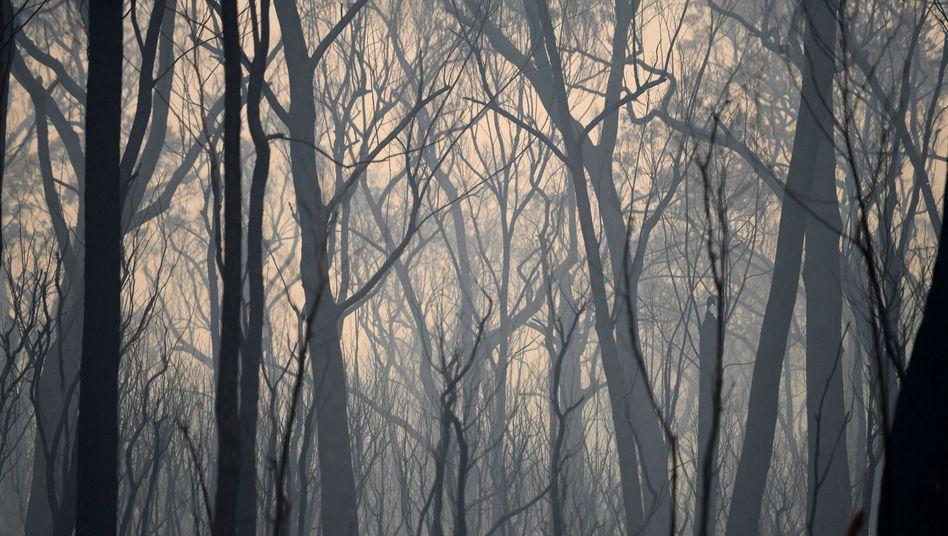 Verbrannte Bäume in Australien: Der Klimawandel wirkt sich nicht nur auf die Natur, sondern auch auf das Weltfinanzsystem aus