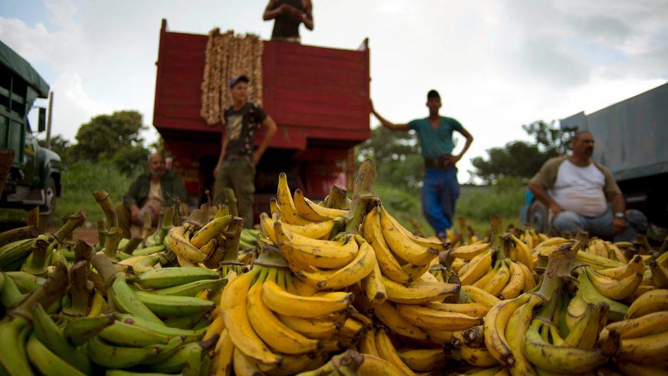 Bananenhändler in Havanna, Kuba: Chiquita will sich nicht von der brasilianischen Cutrale-Gruppe schlucken lassen